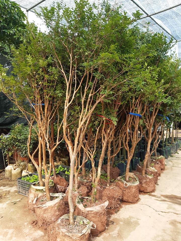 cây nho thân gỗ