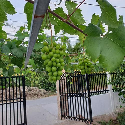 Cây nho xanh Ninh Thuận