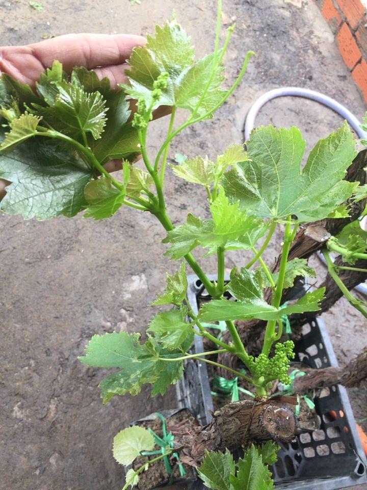 Gốc nho có hoa sẵn, ra trái sau 1 tháng