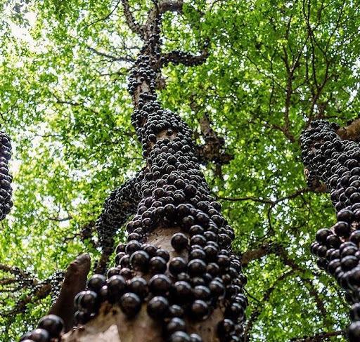 cây nho