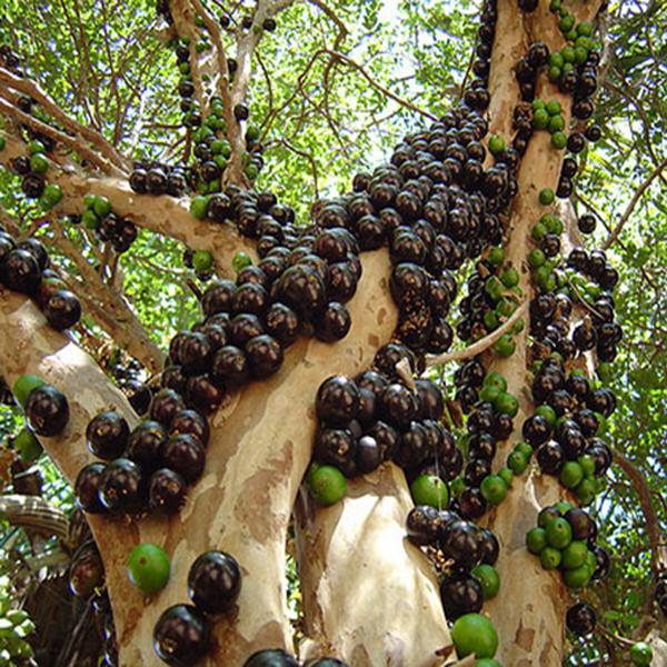 bán cây nho giống Tp Hồ Chí Minh
