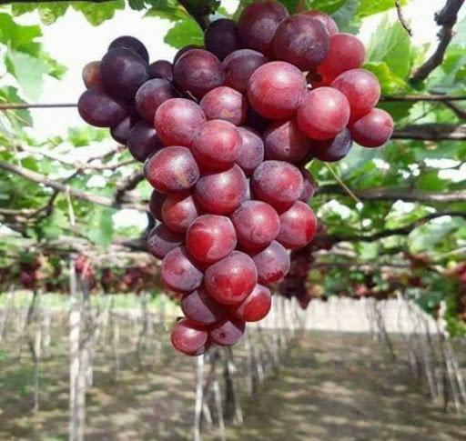 Giống nho đỏ Ninh Thuận